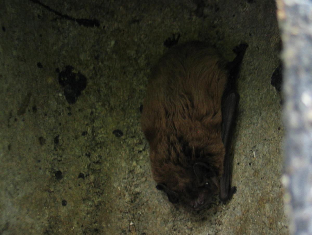 Leisler's bat in bat box